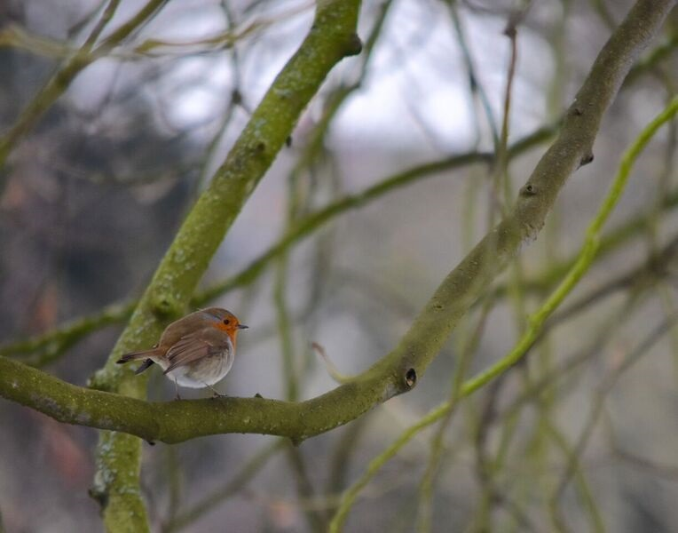 A robin resting on a branch by Jen Shaw, Fourth year Modern and Medieval Languages undergraduate